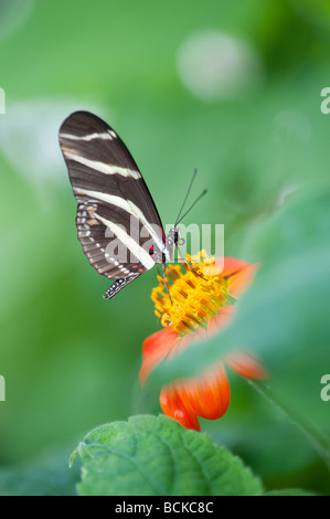 Heliconius charithonia. Zebra longwing butterfly in an english butterfly farm. UK - Stock Photo