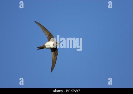 Alpine Swift Apus melba In Flight Extramadura Spain - Stock Photo