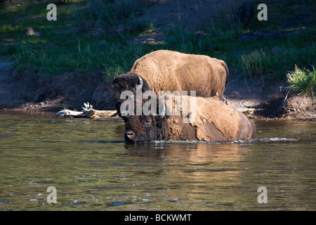 Bison swimming across Madison River in Yellowstone National Park Wyoming - Stock Photo