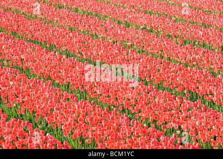 Tulip fields of the Bollenstreek, South Holland, Netherlands. - Stock Photo