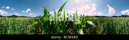 Corn and wheat growing in field - Stock Photo