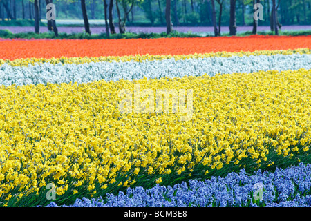 Tulips, daffodils and hyacinths in the fields of the Bollenstreek, South Holland, The Netherlands. - Stock Photo