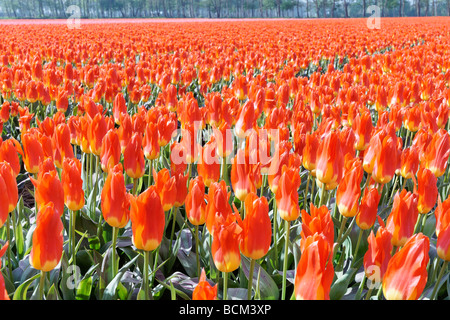 Tulip fields of the Bollenstreek, South Holland, Netherlands - Stock Photo