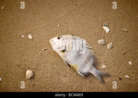 Dead Fish lying on the beach - Stock Photo