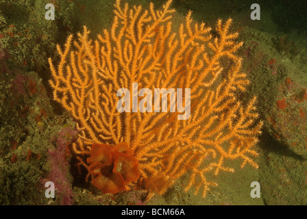 Rose coral and common sea-fan in North Brittany - Stock Photo