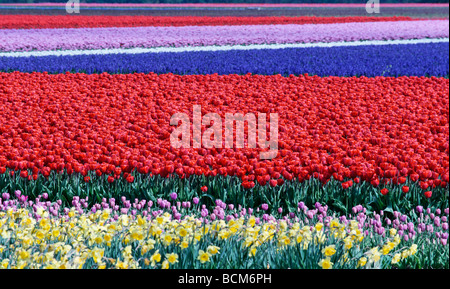 Tulip fields of the Bollenstreek, South Holland, The Netherlands. Focus on main block of red tulips - Stock Photo