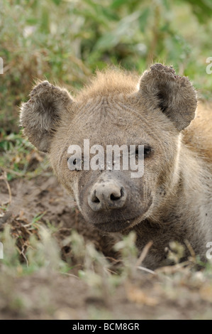 Stock photo closeup image of a spotted hyena. - Stock Photo