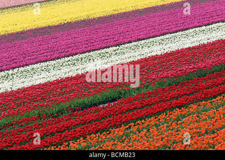 Tulip field in North Holland, Netherlands - Stock Photo