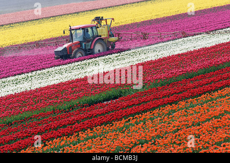 Tractor spraying tulips in North Holland, Netherlands. - Stock Photo