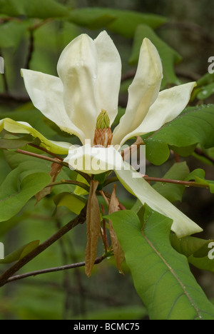close up of wild magnolia bloom in tree in the Blue Ridge Mountains of North Carolina - Stock Photo
