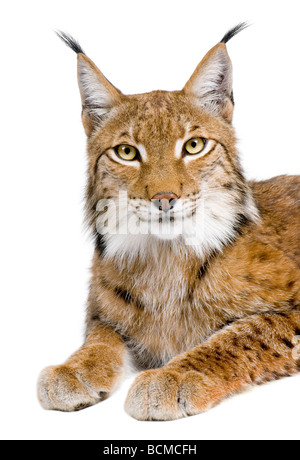 Eurasian Lynx, Lynx lynx, 5 years old, in front of a white background, studio shot - Stock Photo
