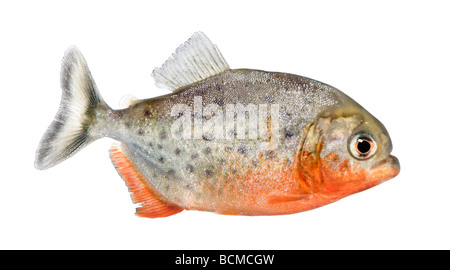 Side view on a Piranha fish, Serrasalmus nattereri, in front of a white background, studio shot - Stock Photo