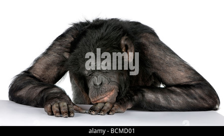 Monkey sleeping on his desk, Mixed Breed between Chimpanzee and Bonobo, 20 years old, in front of a white background - Stock Photo