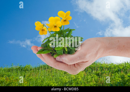 hand holding viola pansy flowers with blue sky and clouds and green meadow in the background - Stock Photo