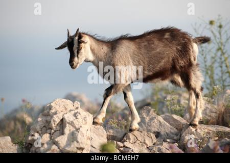 Mountain goats in the Dalamtian hills - Dubrovnik, Croatia - Stock Photo