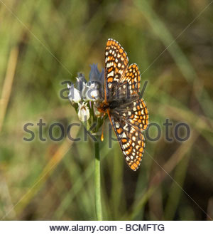 Variable Checkerspot Euphydryas chalcedona Butterfly - Stock Photo