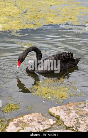 Black Swan (Cygnus atratus) - Stock Photo