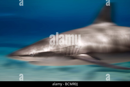 Bronze whaler shark - Stock Photo