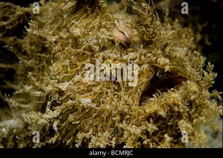 Striated Frogfish Antennarius striatus photographed near the Blue Heron Bridge in Singer Island FL - Stock Photo