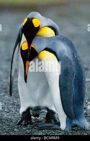 King Penguins - Stock Photo