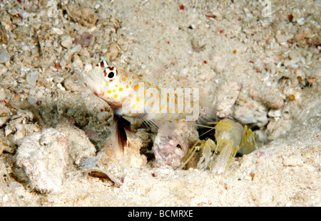 watchmen goby and pistol shrimp relationship quizzes
