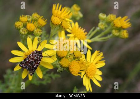 True Lover's Knot Moth Lycophotia porphyrea On Oxford Ragwort Cannock Chase, England, UK - Stock Photo