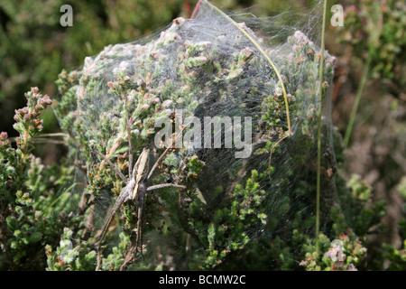 Female Nursery-web spider Pisaura mirabilis Guarding Her Silken Tent Of Spiderlings Cannock Chase, England, UK - Stock Photo