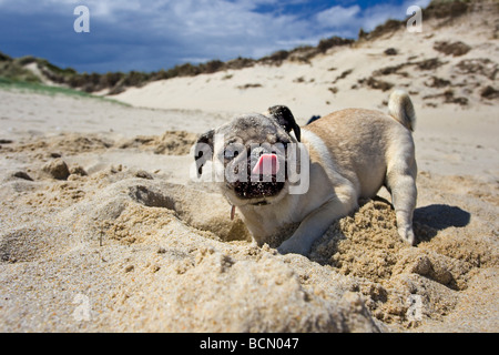 pug dog - puppy digging a hole in the sand and licking its muzzle - Stock Photo