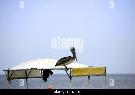 Brown Pelican (Pelecanus occidentalis) perched on a boat, Holbox island, Quintana Roo, Yucatán Peninsula, Mexico, - Stock Photo