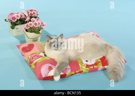 Neva Masquarade cat - lying on pillow - Stock Photo