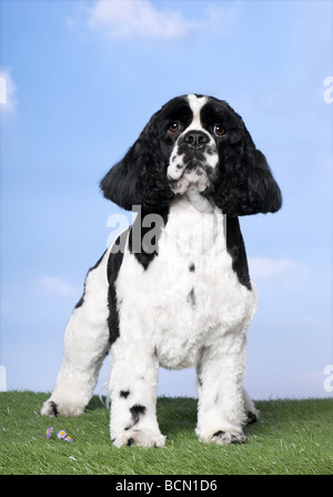 American Cocker Spaniel dog, 2 years old, looking at the camera standing on grass against blue sky, studio shot - Stock Photo