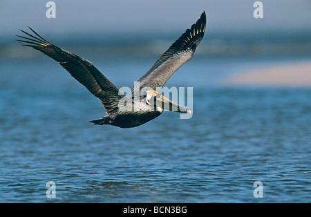 Brown Pelikan - flying / Pelecanus occidentalis - Stock Photo