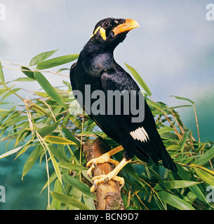 Greater Indian Hill Mynah on branch / Gracula religiosa intermedia - Stock Photo