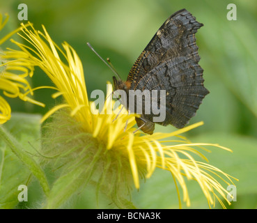 Peacock butterfly (Nymphalis io, Inachis io)  with wings folded feeding on a yellow Inula hookeri flower. - Stock Photo
