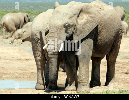 African Elephants (Loxodonta africana) enjoy the pleasures of cool mud at a water hole. - Stock Photo