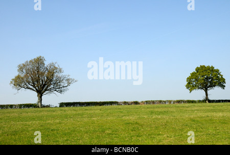 A neatly cut field hedge with two Oak trees (Quercus Robur) with leaves just appearing in spring. Burwash, Sussex, - Stock Photo