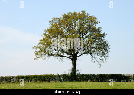 A neatly cut field hedge with an Oak tree (Quercus Robur) with leaves just appearing in spring. Burwash, Sussex, - Stock Photo
