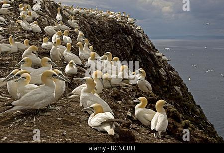 Gannet Colony Bass Rock - Stock Photo