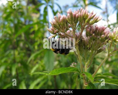 Bombus terrestris, the buff-tailed bumblebee or large earth bumblebee, clinging to a flower (Eupatorium cannabinum) - Stock Photo