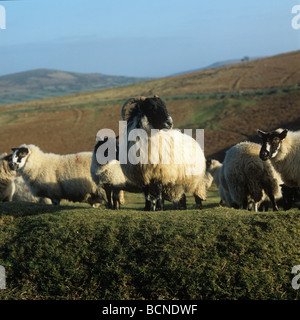 Scottish blackface ram and mule ewes on Dartmoor in winter - Stock Photo