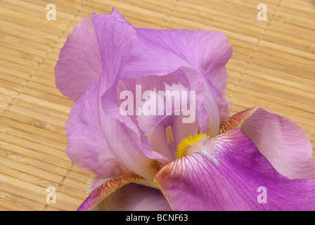 Schwertlilie iris 47 - Stock Photo