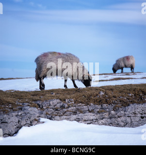 Swaledale ewes grazing on short pasture in snow covered moorland Westmorland Cumbria - Stock Photo