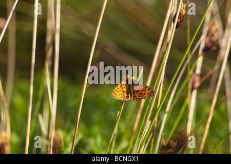 Small Pearl-bordered Fritillary Boloria selene Kynance Cove Lizard sunny summers day June Cornwall England UK GB - Stock Photo