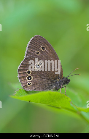 Ringlet Aphantopus hyperantus adult resting on vegetation at Bernwood Forest, Buckinghamshire in July. - Stock Photo