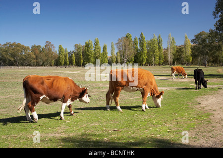 Cows Gundagai Southern New South Wales Australia - Stock Photo