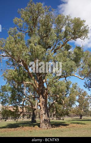 Eucalyptus Tree Gundagai Southern New South Wales Australia - Stock Photo