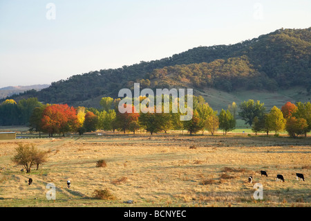 Cows Farmland and Autumn Trees Khancoban Snowy Mountains New South Wales Australia - Stock Photo
