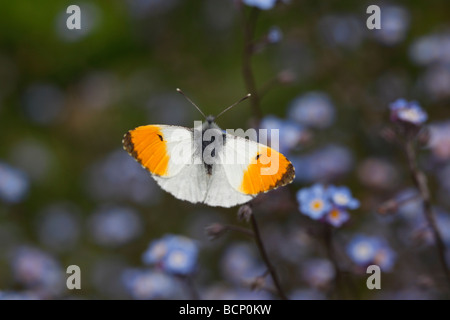 Orange tip Anthocharis cardamines Male on forgetmenot - Stock Photo
