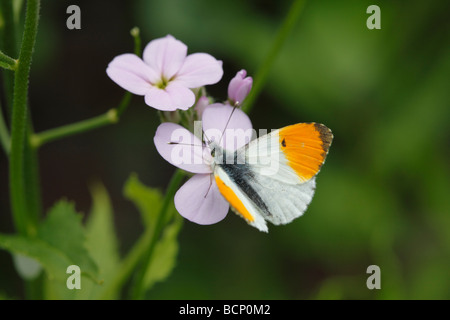 Orange tip Anthocharis cardamines male on honesty flower - Stock Photo