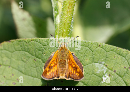 Large skipper Ochlodes venatus male at rest on comfrey leaf - Stock Photo